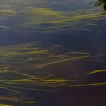 Chalk Stream Reeds