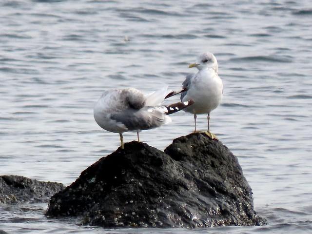 Photo:Mew Gulls 9/16/21 By mahlness