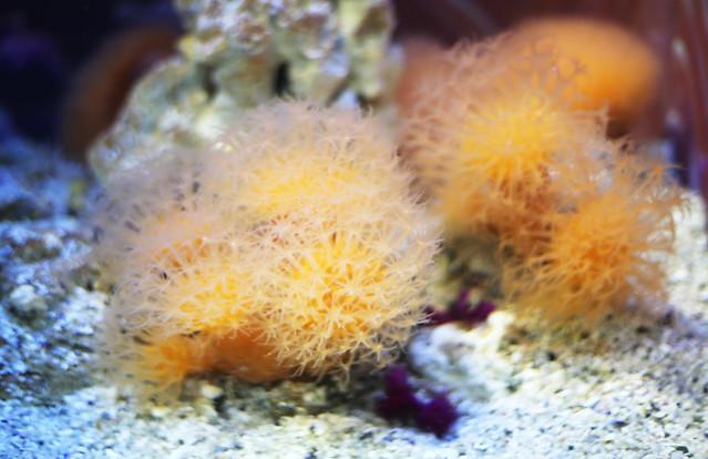 Photo:Sun-burst soft coral, Two Oceans Aquarium, Cape Town, South Africa By flowcomm