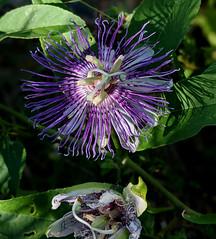 Passiflora incarnata (maypop, purple passionflower)
