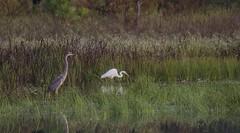 Heron, Egret & Ducks at BARC Mitigation Ponds