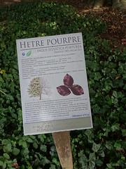 Hetre Pourpre du Parc de la mairie-annexe du Breucq (6)