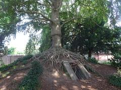 Hetre Pourpre du Parc de la mairie-annexe du Breucq (2)