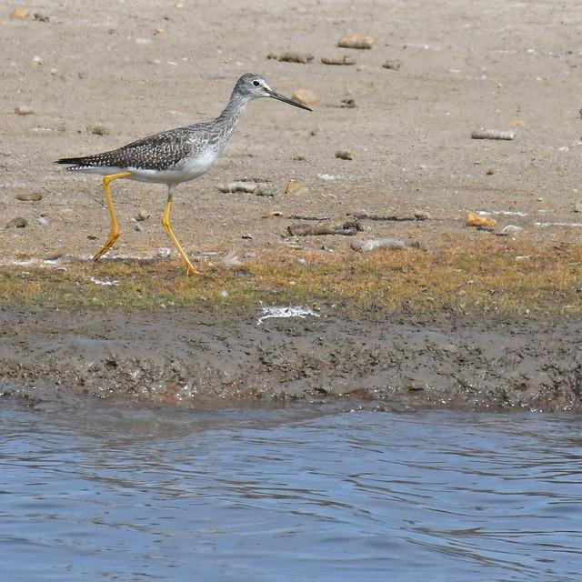 Photo:greater yellowlegs Hart Miller Island 9.16.21 DSC_1893 By lwolfartist