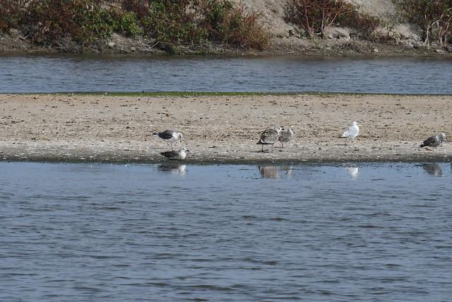 Photo:lesser black-backed gull Hart Miller Island 9.16.21 DSC_1921 By lwolfartist