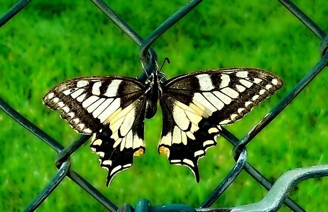 Photo:Swallowtail // Schwalbenschwanz // Papilio machaon By LycaenaWithAnA