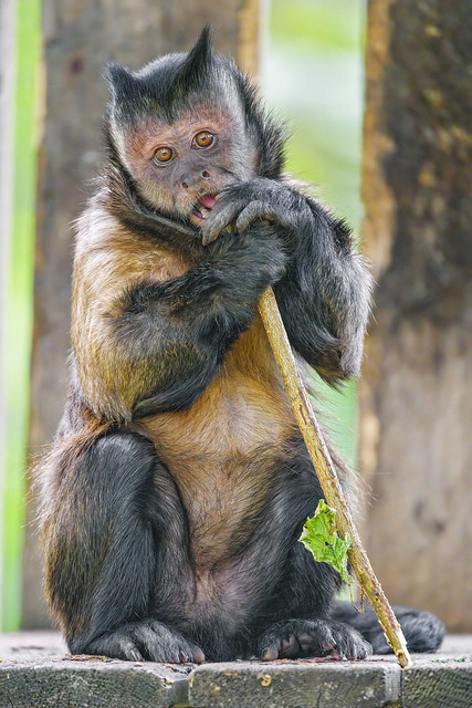 Photo:Capuchin monkey with branch By Tambako the Jaguar