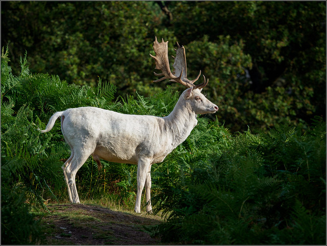 Photo:White hart By Phil McIver