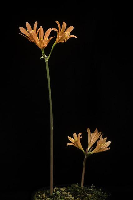 Photo:Lycoris sanguinea Maxim., Bot. Jahrb. Syst. 6: 80 (1884). By sunoochi