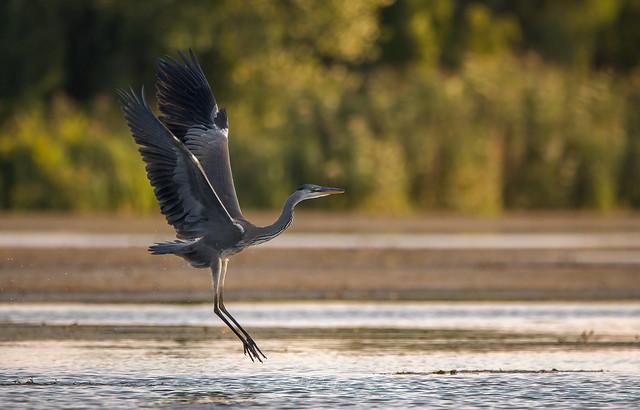 Czapla Siwa/Grey heron