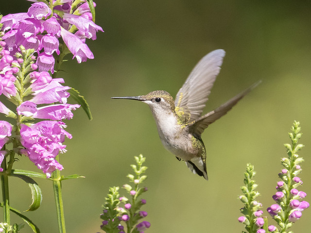 female ruby-throated hummingbird among the obedient plant (physostegia)