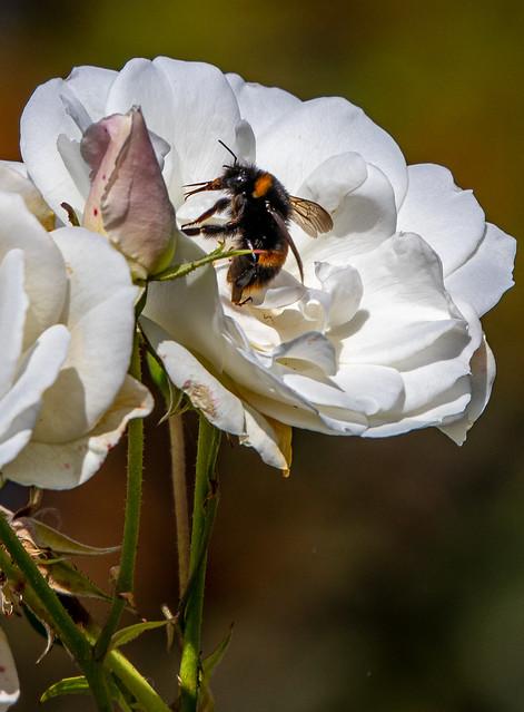 Bee on an Iceberg Rose.