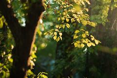 Sunshine Leaves