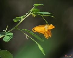 Orange Jewelweed (Impatiens capensis) (DFL1173)