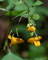 Orange Jewelweed (Impatiens capensis) (DFL1174)