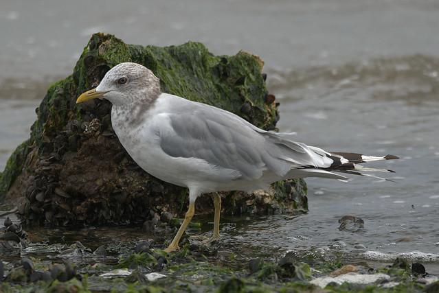 Photo:Short-billed Gull By Kevin Krebs