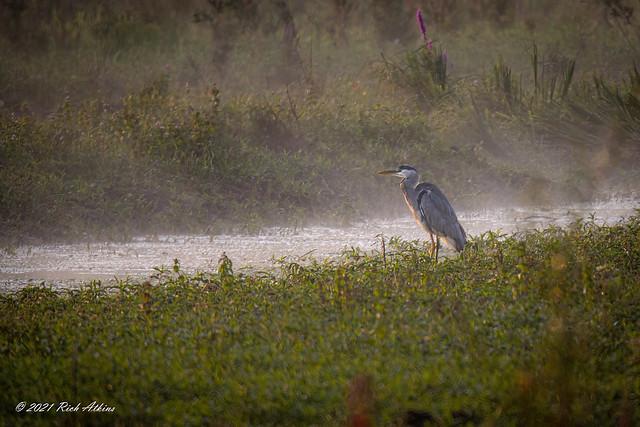 Grey Heron (Andea cinerea)