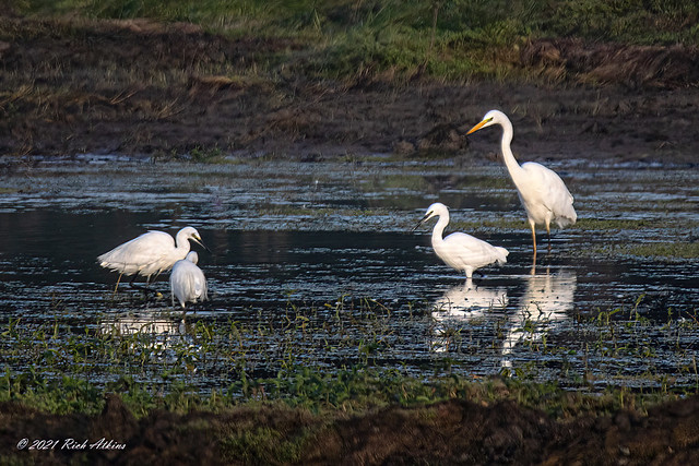 Litte Egret & Great White Egret