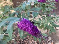Shenandoah River SP 10-5-21 butterfly bush day use