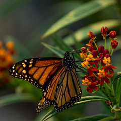 Monarch and the Weed