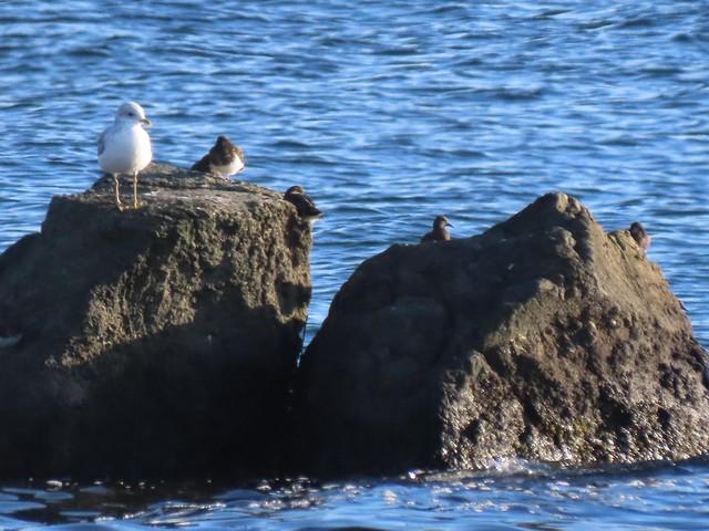 Photo:Mew Gull and Black Turnstones 10/7/21 By mahlness
