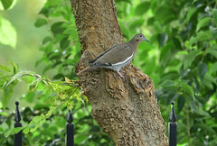 White Wing Dove