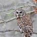 Barred Owl © Dan Bernskoetter - 1st in Published Images