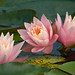 Water Lily Trio © Kent Taylor - 1st in Flora