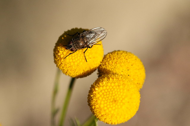Fly on tansy