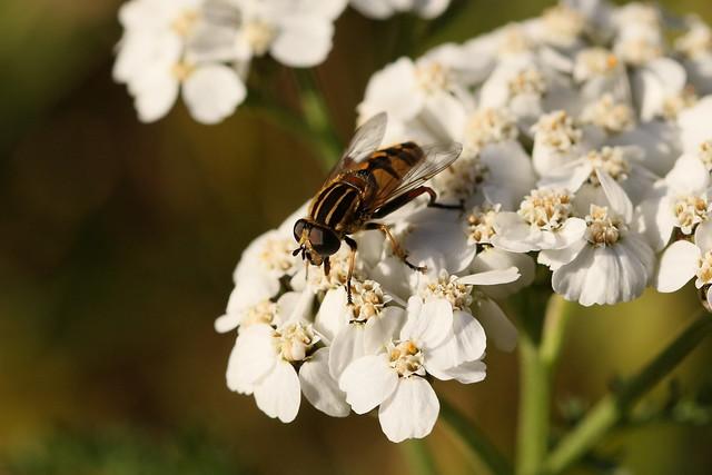 Hover fly feeding