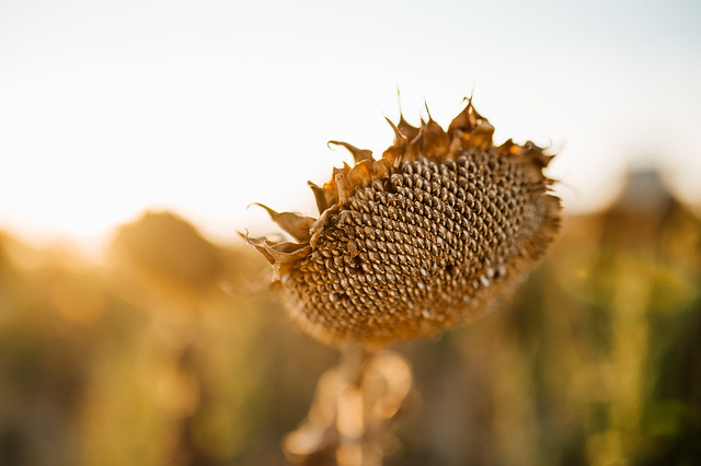Seeds of a sunflower in the late season