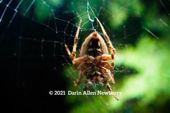 Spider on web, belly side forward