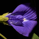 butterfly pea - Clitoria ternatea