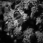 DSCF4009 papillon