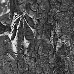 Leaf Imprint on Tree 939m-1