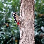 Buntspecht ♂ klettert am Baumhasel hoch