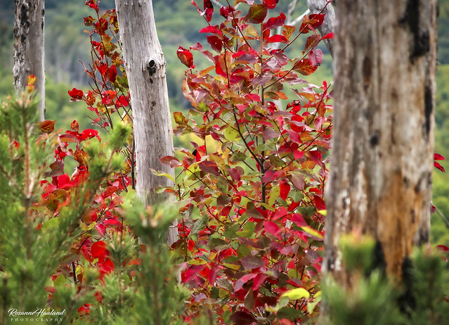 Photo:New growth with old burned, new scotch pine and red leaves By Angelrays