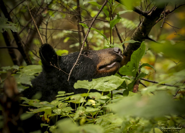 Photo:Black bear sighting By Angelrays