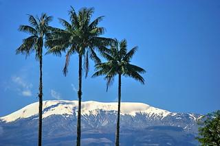 Wax Palm Trinity