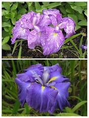 花菖蒲(玉蟬花) Iris ensata (Iris kaempferi) cultivars   [英格蘭 Wisley Gardens, England]