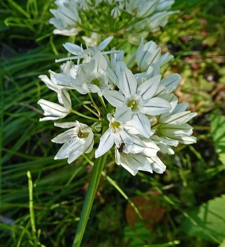 紫燈花屬 Triteleia hyacinthina  [溫哥華植物園  VanDusen Botanical Garden, Vancouver]