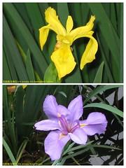花菖蒲(玉蟬花) Iris ensata (Iris kaempferi) cultivars  [香港公園 Hong Kong Park]