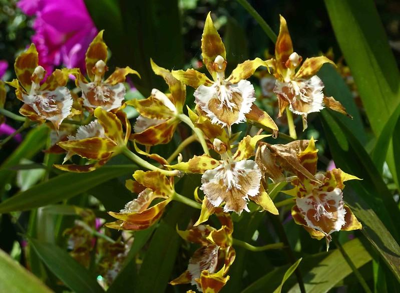 Odontoglossum hennisii   [新加坡濱海灣花園 Gardens by the Bay, Singapore]