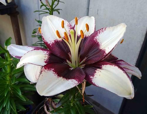 亞洲百合 Lilium Tiny Padhye  [溫哥華植物園  VanDusen Botanical Garden, Vancouver]