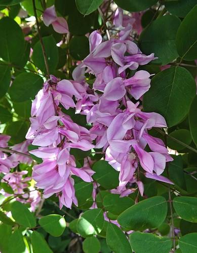 花木藍 Indigofera kirilowii  [溫哥華哥倫比亞大學植物園  UBC Botanical Garden, Vancouver]