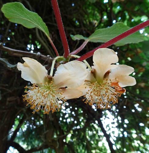 腺梗薔薇 Rosa filipes 'Kiftsgate'  [溫哥華哥倫比亞大學植物園  UBC Botanical Garden, Vancouver]